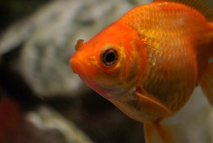 2462-goldfish
